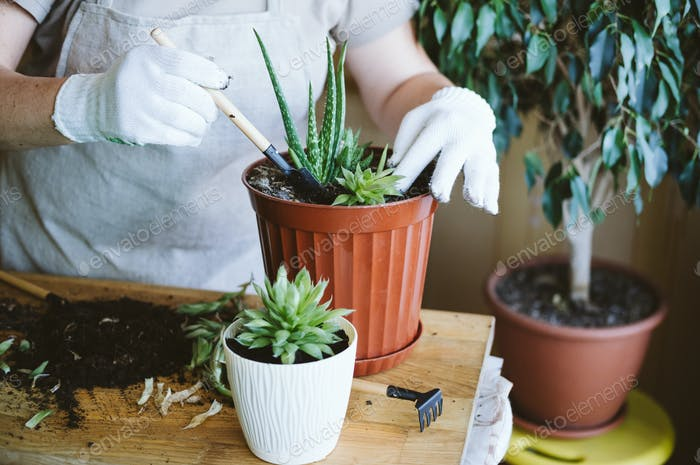 Home garden. Houseplant symbiosis. How to Transplant Repot a Succulent, propagating succulents