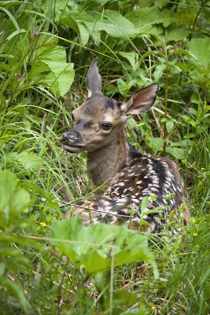 Vulnerable red deer calf with white spots hiding in tall green grass in spring