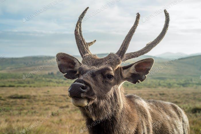 Close-up of sambar deer in wild nature