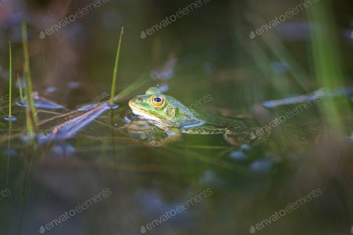 Lake frog, Pelophylax lessonae