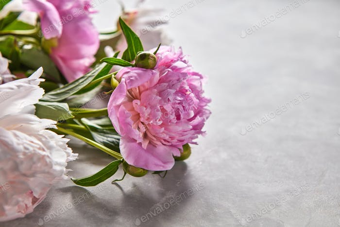 Delicate pink peonies with buds and green leaves on a gray concrete background with space for text