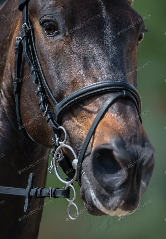 Head of sport horse in pelham bridle with flash noseband.
