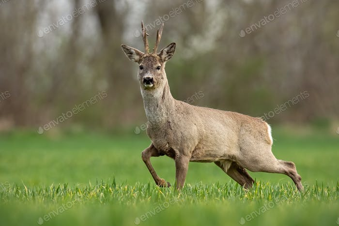 Roe deer, capreolus capreolus, buck in spring walking on a filed