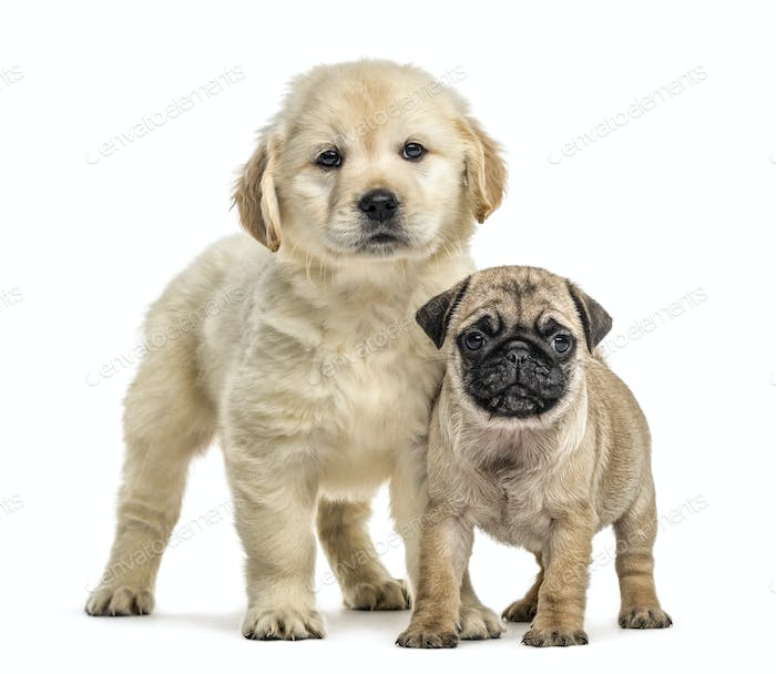 Retriever and pug puppies standing, isolated on white