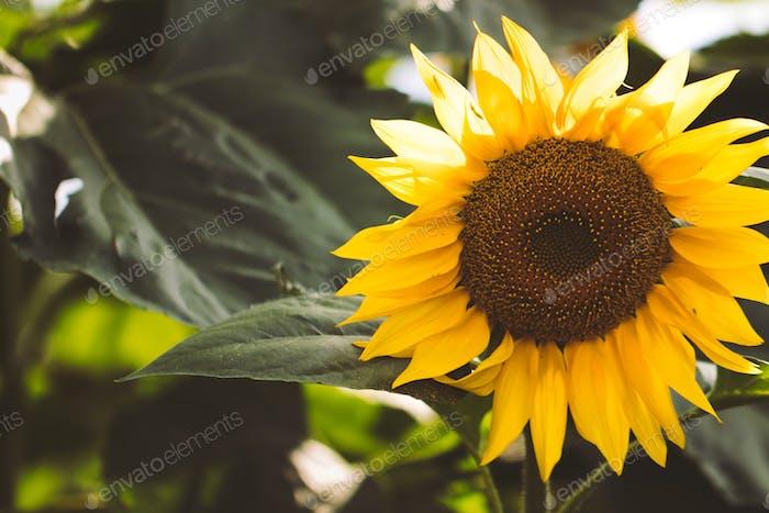 Sonnenblumenfeld Hintergrund auf Sonnenuntergang mit selektivem Fokus