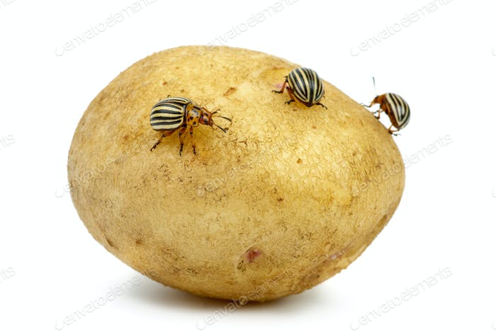 Potato infested with colorado potato beetles