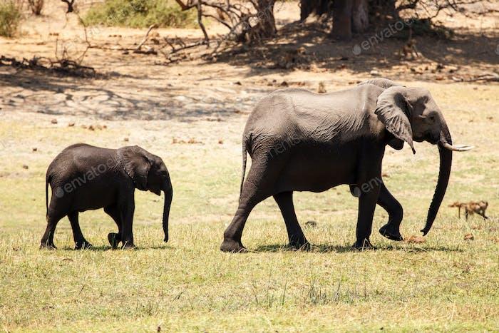 Chobe N.P. Botswana, Africa