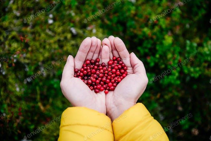 Red lingonberry berries. Tasty berries in woman hands.