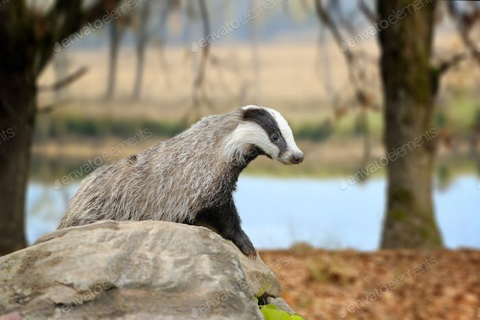 Badger on stone in the spring forest
