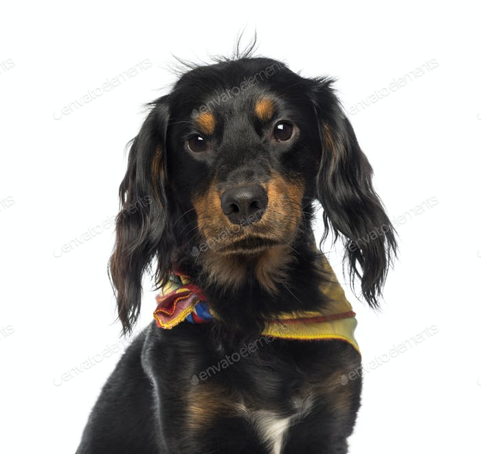 Close-up of a Crossbreed dog wearing a bandana, looking at the camera, isolated on white