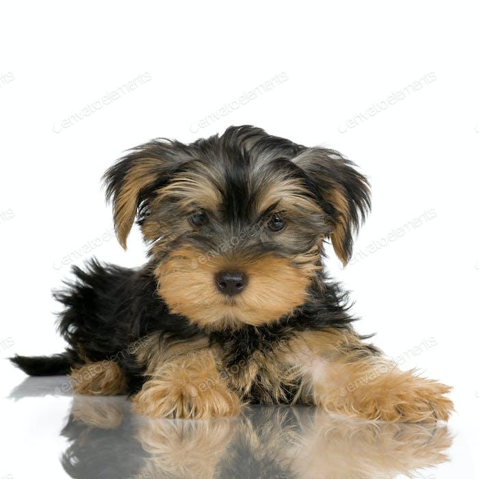 puppy Yorkshire Terrier (2 months)