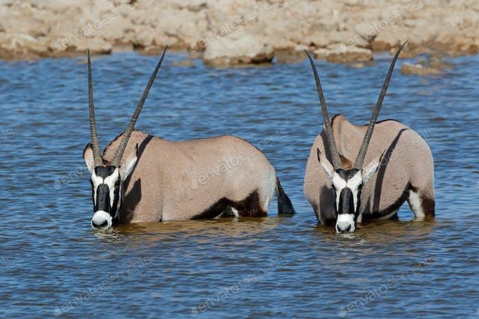 Gemsbok antelopes wading