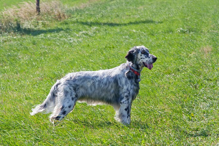 English Setter on the meadow
