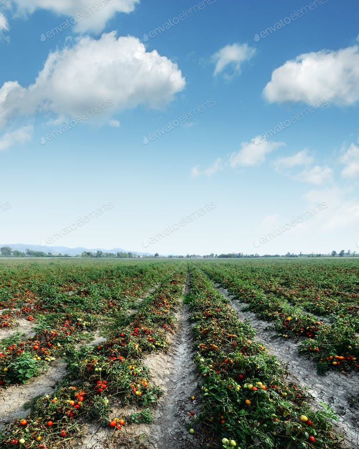 Tomato field on summer day