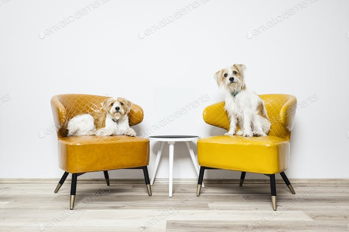 two little dogs sitting on armchairs