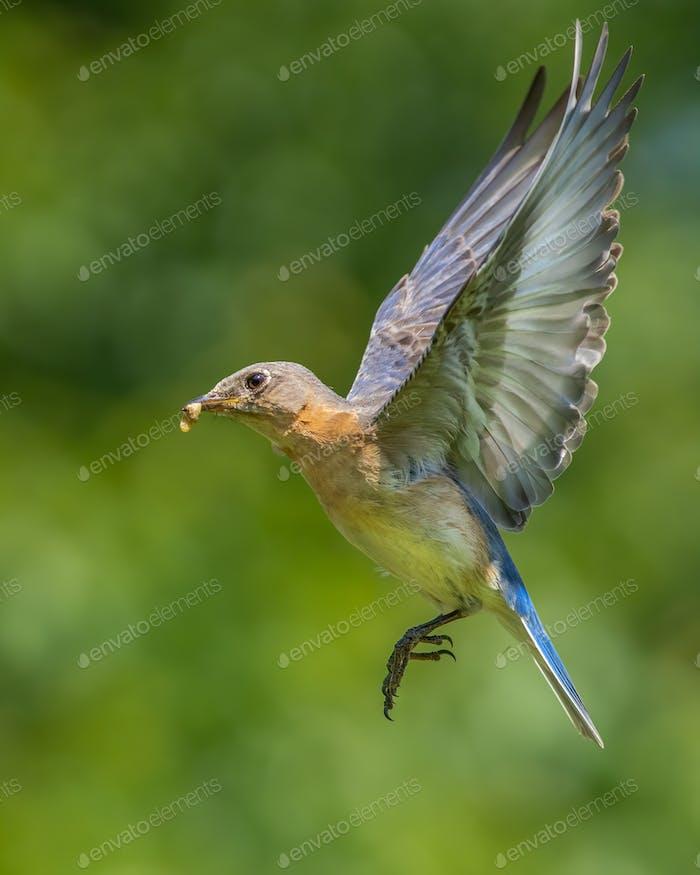 Östliches Bluebird mit Insekt