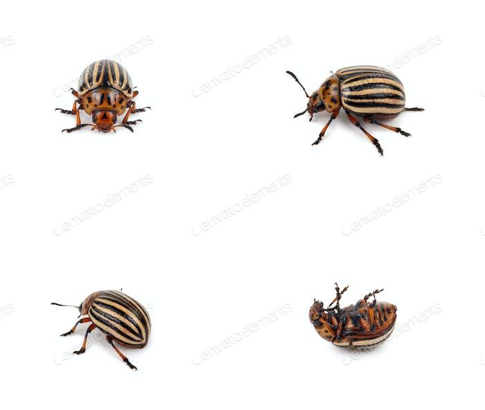 escarabajo de Colorado