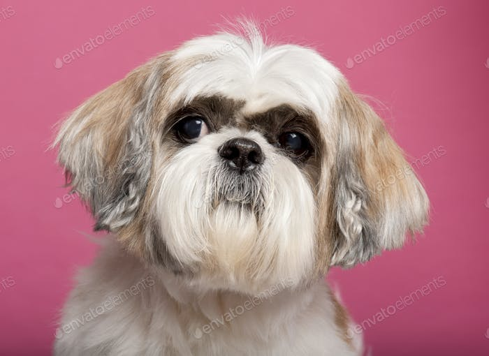 Close-up of Shih Tzu, 8 years old, in front of pink background