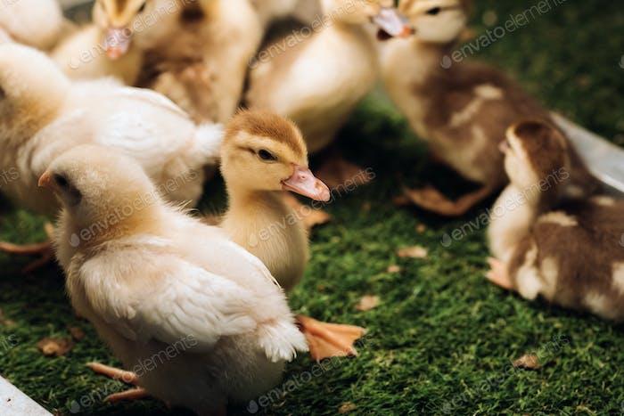 Pequeños pollos y patitos disfrutan del sol en la hierba