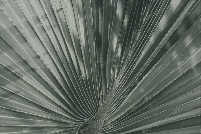 Close up of fan palm leaf textured background