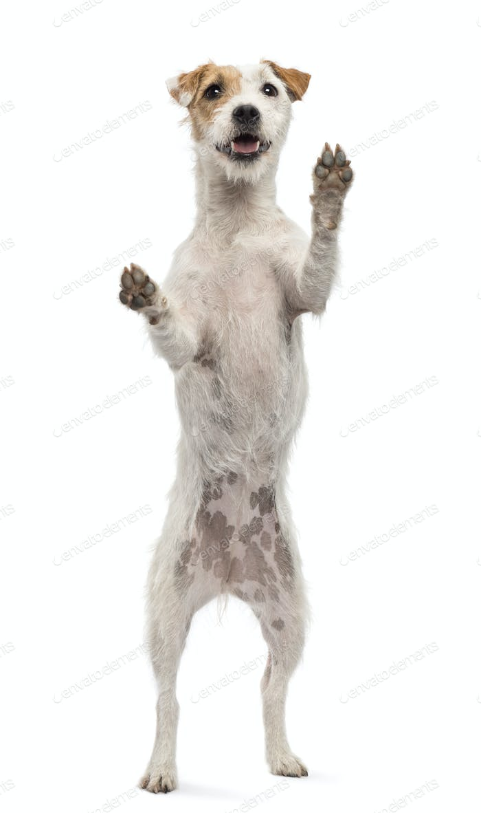 View througth a glass of a Parson Russell Terrier on hind legs, leaning