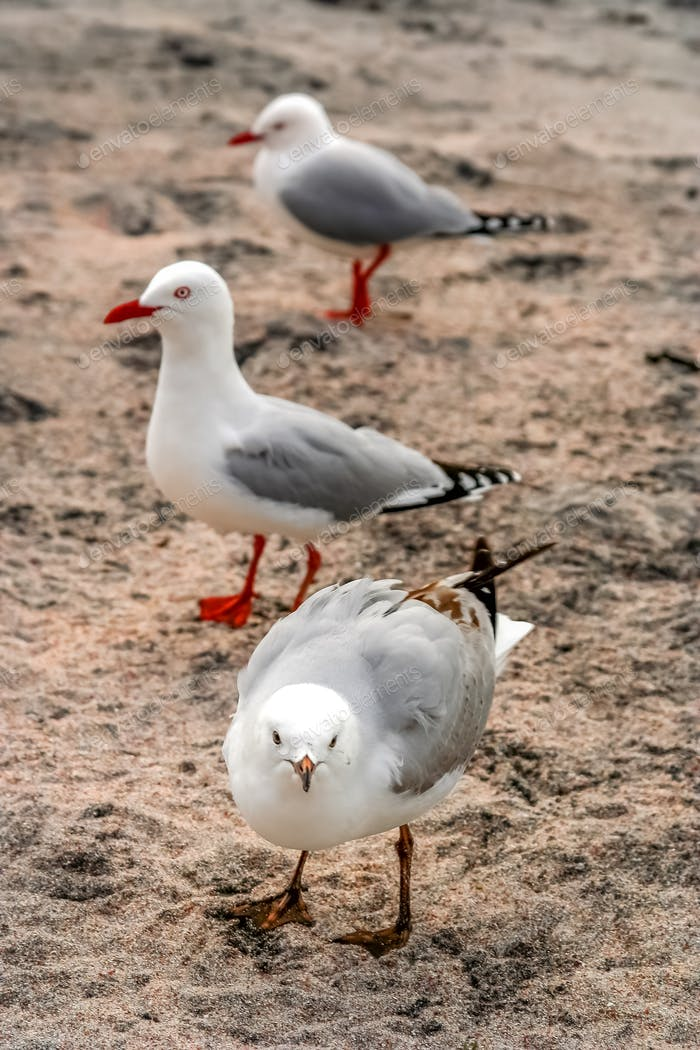 Three seagulls walking on the beach