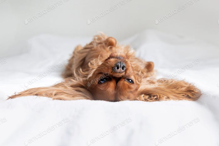 Happy dog napping on bed