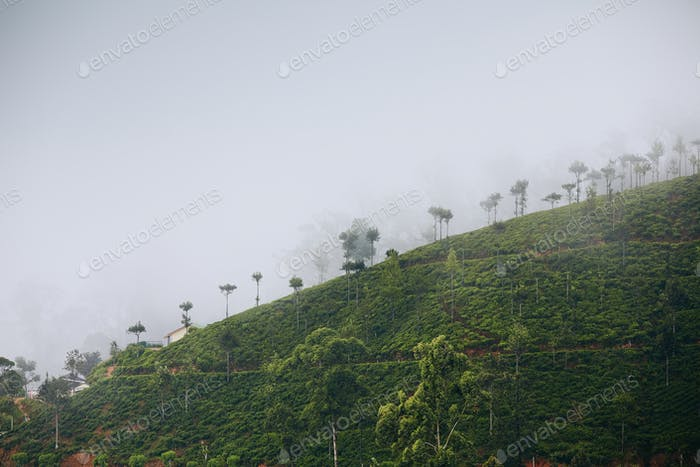 Tea plantation in mysterious fog