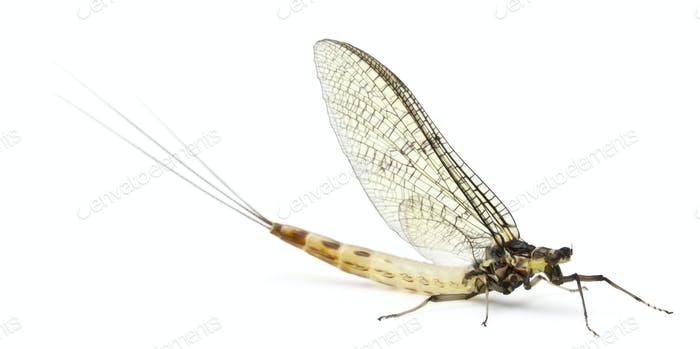 Mayfly, Ephemera danica, in front of white background