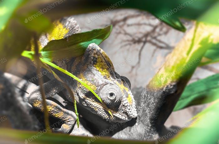 Chameleon Furcifer Pardalis Ambilobe