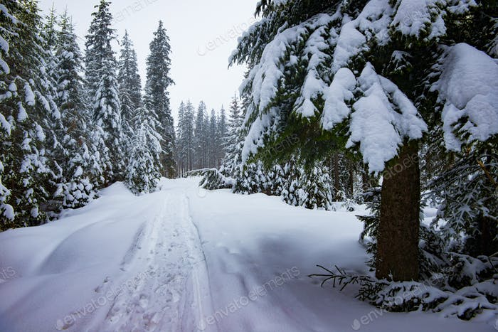 Impassable snowy winter forest road with firs
