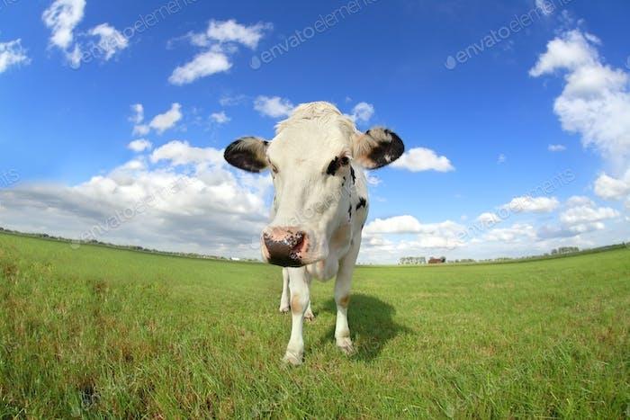 cute cow on pasture close up via wide angle