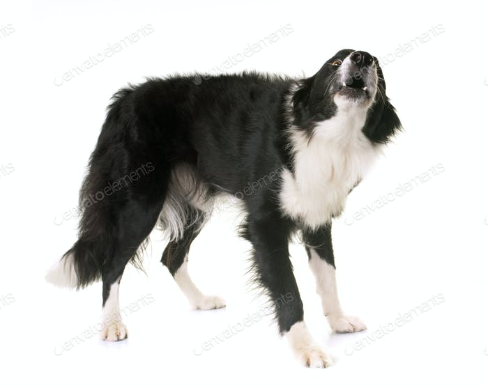 border collie barking