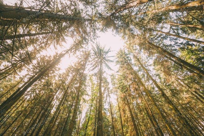Automne Pin Conifères Forêt Arbres Bois À Auvent. Vue du bas
