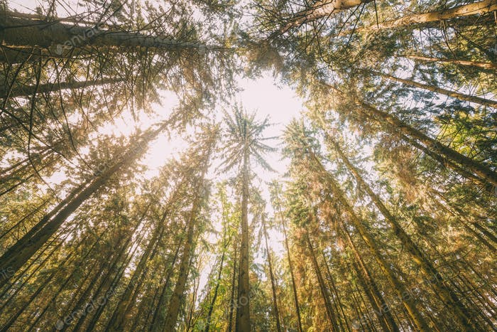 Herbst Kiefer Nadelwald Bäume Wald zu Baldachin. Untere Ansicht