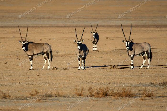 Oryx in Sossusvlei, Namibia