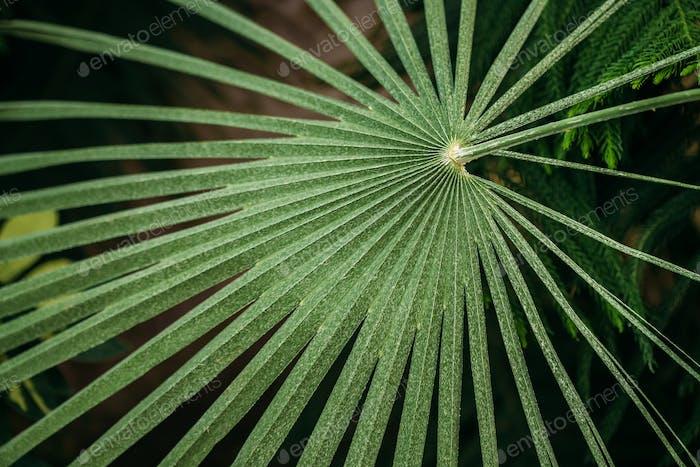 Grüne Blätter von Chamaerops Humilis Im Botanischen Garten
