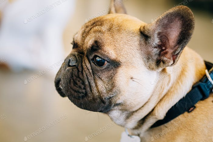 Dog French Bulldog