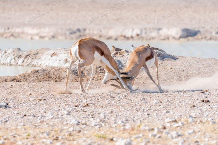 Two springbok rams fighting