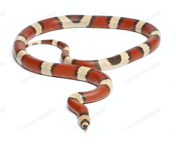 Tricolor vanishing Honduran milk snake, Lampropeltis triangulum hondurensis