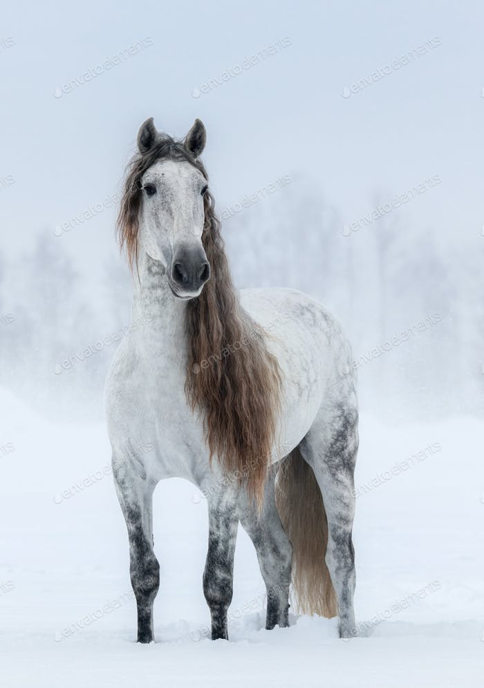 Winter cloudy landscape and grey long-maned Andalusian Horse.