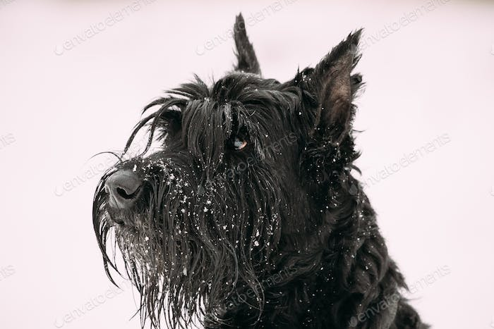 Portrait Of  Young Black Giant Schnauzer Or Riesenschnauzer Dog