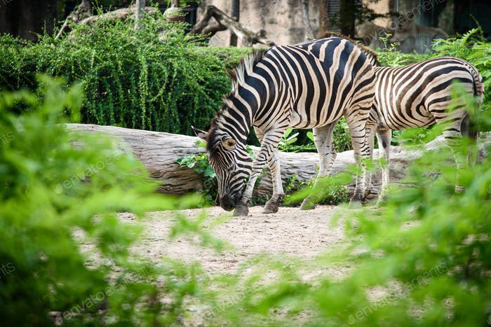 A zebra in a cage, African wildlife