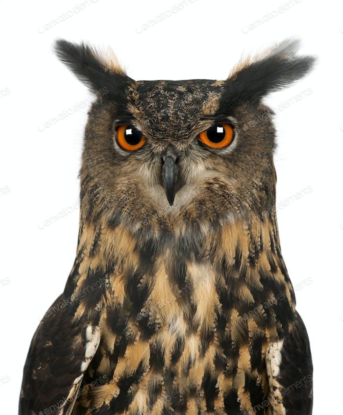 Eurasian Eagle-Owl, Bubo bubo, 15 years old, against white background