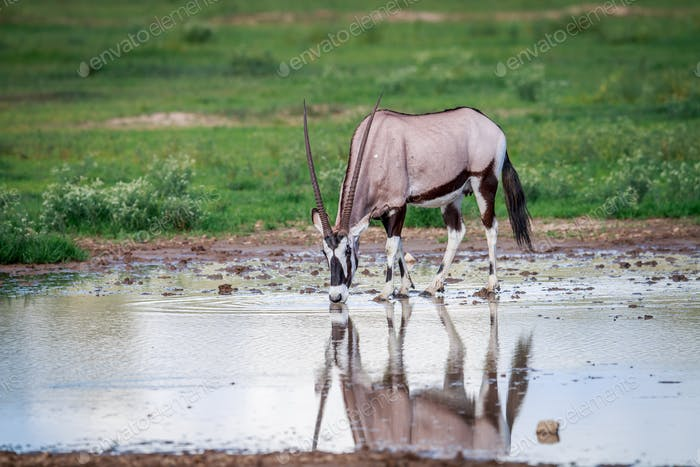Gemsbok drinking water.