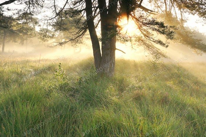 goldener Sonnenschein bei nebliger Morgendämmerung im Wald