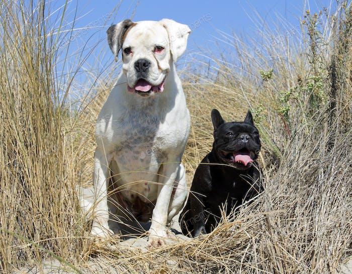 boxer and french bulldog