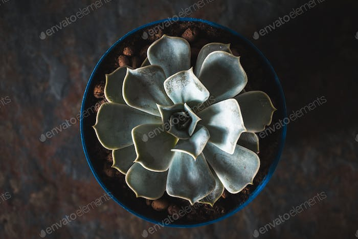 Echeveria succulent in a blue pot on a slate