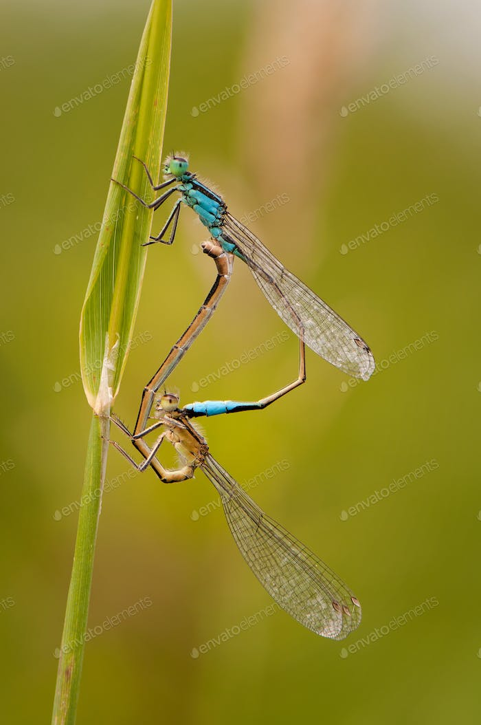 Close up of dragonfly, Blue tailed damselfly