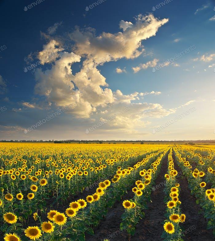 Feld der Sonnenblumen.